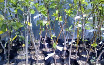 Podjela voćnih sadnica